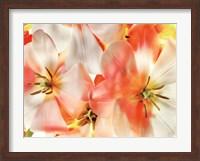 Tulips 1 Fine Art Print