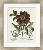 Red Besler Peonie I Fine Art Print