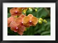 Singapore. National Orchid Garden - Peach Orchids Fine Art Print
