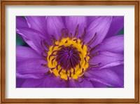 Purple and Yellow Lotus Flower, Bangkok, Thailand Fine Art Print