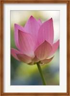 Bloom of Lotus Flower, Bangkok, Thailand Fine Art Print