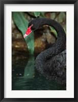 Australia, Black Swan (Cygnus atratus) Fine Art Print