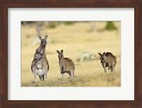 Eastern Grey Kangaroo group standing upright Fine Art Print