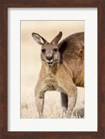 Eastern Grey Kangaroo portrait Fine Art Print