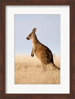 Eastern Grey Kangaroo portrait lateral view Fine Art Print