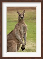 Kangaroo, Trial Bay, New South Wales, Australia Fine Art Print