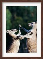 Pair of Eastern grey kangaroo, Australia Fine Art Print