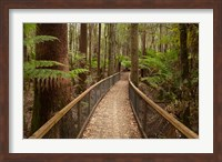 Tall Trees Walk, Mount Field National Park, Tasmania, Australia Fine Art Print