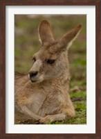 Eastern Grey Kangaroo resting, Queensland, Australia Fine Art Print