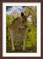 Preening Eastern Grey Kangaroo, Queensland AUSTRALIA Fine Art Print