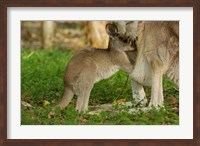 Australia, Queensland, Eastern Grey Kangaroo and joey Fine Art Print