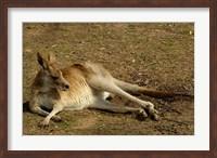 Eastern Grey Kangaroo, Queensland AUSTRALIA Fine Art Print