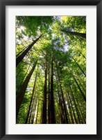 Redwood Forest, Rotorua, New Zealand Fine Art Print