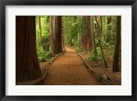 Path through Redwood Forest, Rotorua, New Zealand Fine Art Print