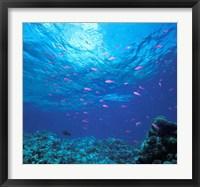 Australia, Great Barrier Reef Purple Anthias fish Fine Art Print