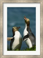 Yellow-Eyed Penguin, Enderby Is, Auckland, New Zealand Fine Art Print