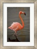 Flamingo, Tropical bird, Dominican Republic Fine Art Print