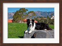 A Border Collie dog Fine Art Print