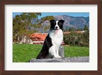 A Border Collie dog sitting Fine Art Print
