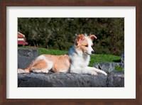 A Border Collie puppy dog lying Fine Art Print