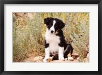 Border Collie puppy dog Fine Art Print
