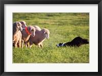 Purebred Border collie dog and Merino sheep Fine Art Print
