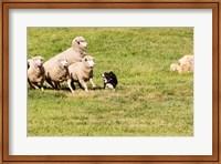 Purebred Border Collie dog and sheep Fine Art Print