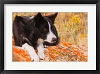 Purebred Border Collie dog on moss rock Fine Art Print