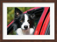 Purebred Border Collie dog, red truck window Fine Art Print