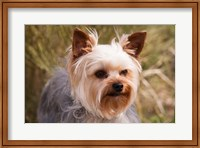 Purebred Yorkshire Terrier Dog Fine Art Print