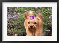 Purebred Yorkshire Terrier dog, purple bow Fine Art Print