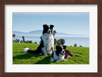 Two Border Collie dogs Fine Art Print