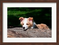 Border Collie puppy dog looking over a log Fine Art Print