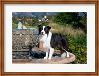 A Border Collie dog standing on a fountain Fine Art Print