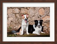 A pair of Border Collie dogs Fine Art Print
