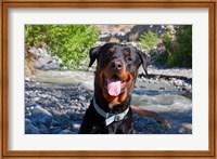 USA, California Rottweiler smiling Fine Art Print
