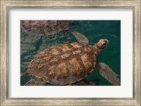 Turtle Farm, Green Sea Turtle, Grand Cayman, Cayman Islands, British West Indies Fine Art Print