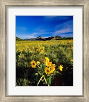 Balsamroot along the Rocky Mountain Front, Waterton Lakes National Park, Alberta, Canada Fine Art Print
