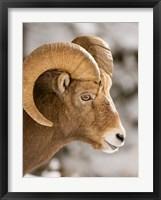 Bighorn sheep, Maligne Canyon, Jasper NP, Alberta Fine Art Print