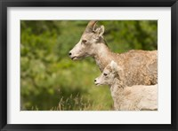 Bighorn sheep wildlife, Peter Lougheed Park, Alberta Fine Art Print