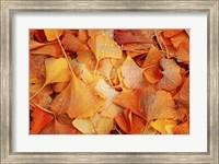 Ginkgo Fall Fine Art Print