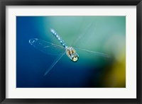 Blue-eyed darner dragonfly, Insect, British Columbia Fine Art Print