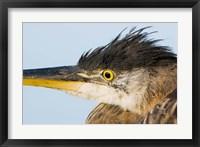 Great blue heron, Boundary Bay, British Columbia Fine Art Print