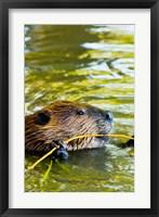 Head of American Beaver, Stanley Park, British Columbia Fine Art Print