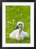 Mute swan cygnet, Stanley Park, British Columbia Fine Art Print