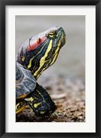 Red-eared pond slider turtle, British Columbia Fine Art Print
