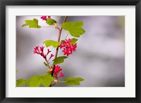 Red-flowering currant, Vancouver, British Columbia Fine Art Print
