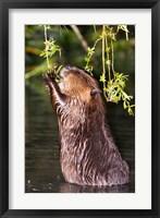 American Beaver, Stanley Park, British Columbia Fine Art Print