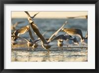 Mew gulls, Stanley Park, British Columbia Fine Art Print