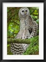 Barred owl, Stanley Park, British Columbia Fine Art Print